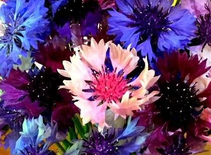 """the Flower Muses""花の女神たち(13)~ヤグルマギク"