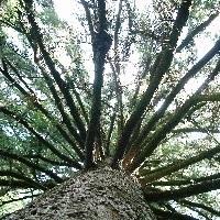 日本のご神木巡礼(東京編)~宇津貫・熊野神社のラッパイチョウ~