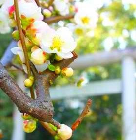 聖なる木巡礼「三篠(みささ)神社のボケの花」