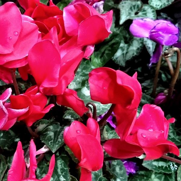 """the Flower Muses""花の女神たち(6)~シクラメン~"
