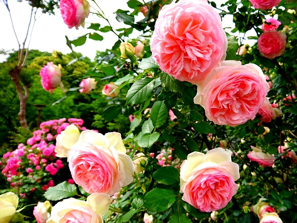 バレンタインに勇気をくれるバラの蕾