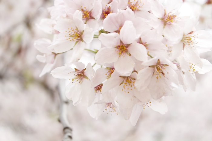 """the Flower Muses""花の女神たち(10)~サクラ~"